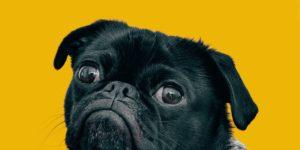 animal de compagnie - chien